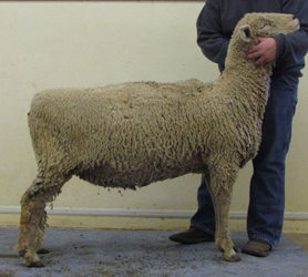 Northern Starr ONline Southdown Bred Ewe Sale Results