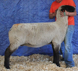 Simpson Livestock Online Bred Ewe Sale Results