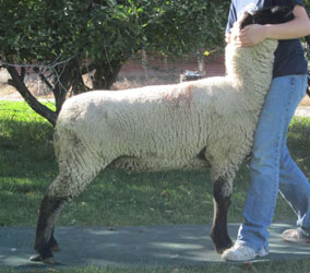 Wade Co Bred Ewe Sale Results
