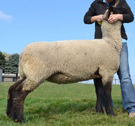 Williams Online Bred Ewe Sale Results