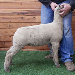 Online Show Lamb Sale Results